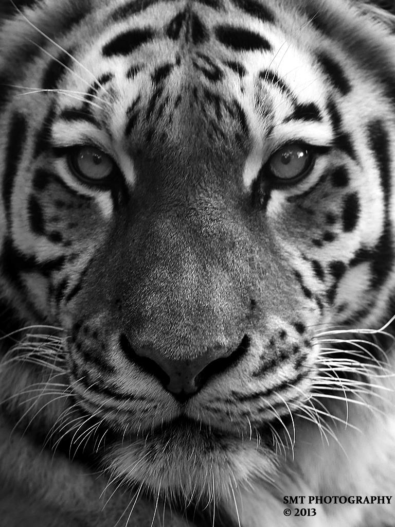 tiger-por-1
