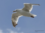 sea-gull-wm-1