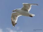 sea-gull-wm-1